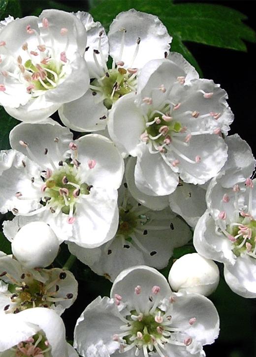 fleurs des Simples