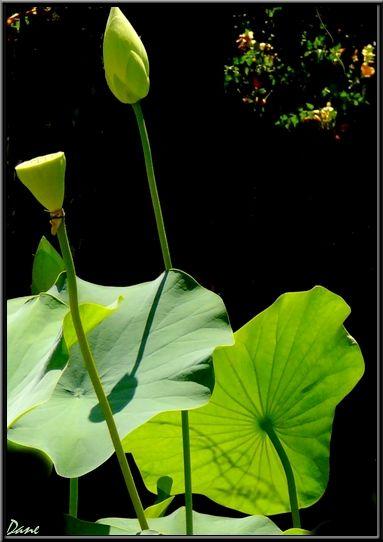 1_blog_bouton_de_lotus