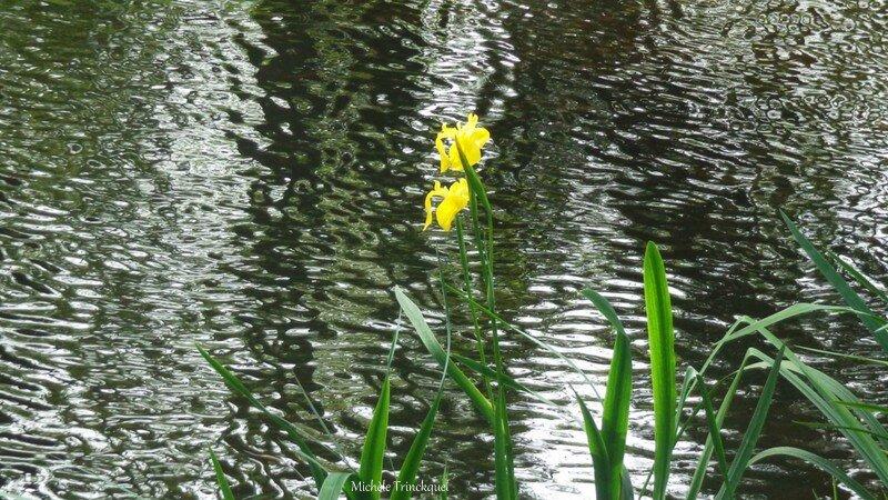 Iris aquatiques 28041611
