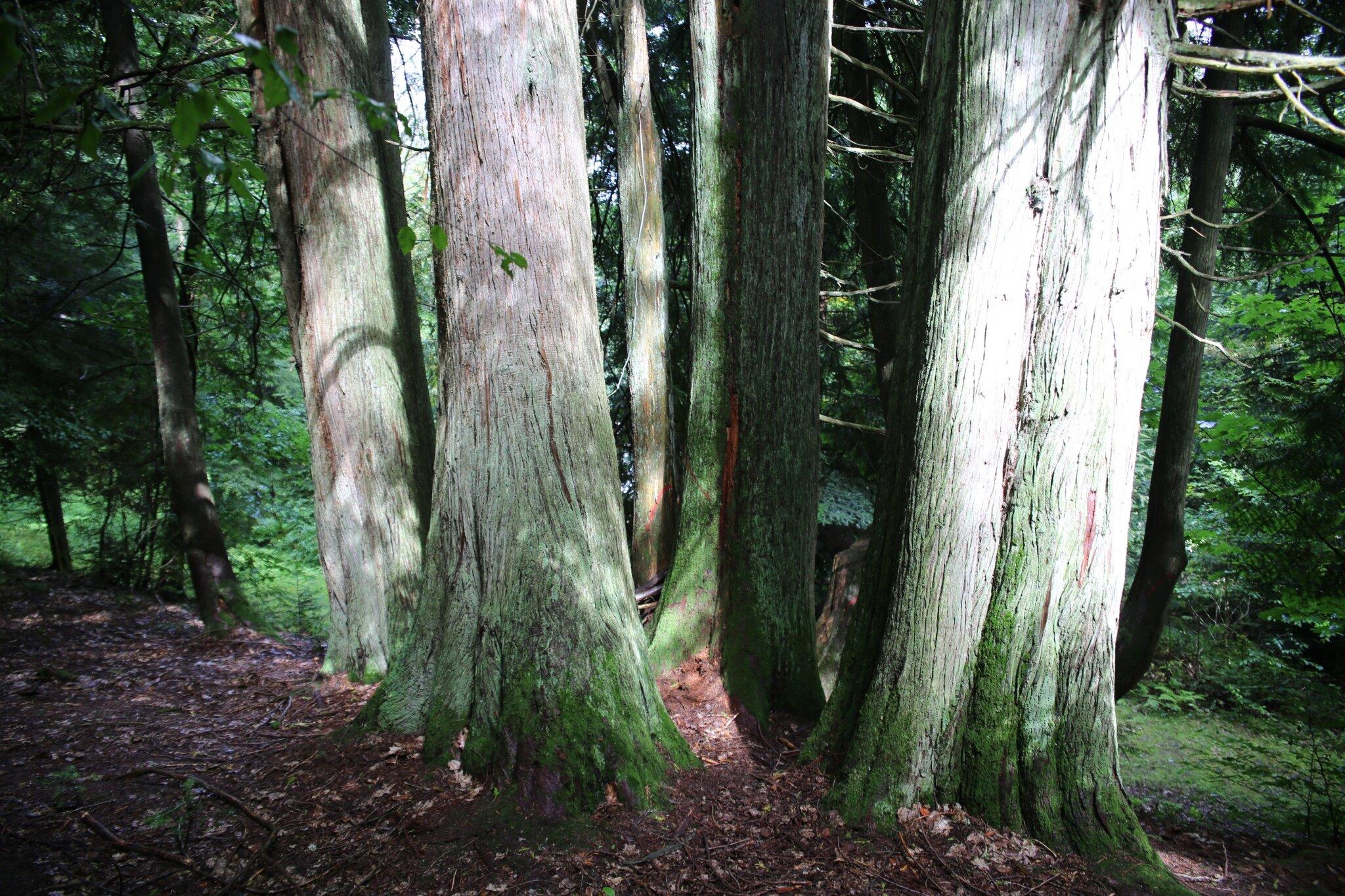 9N3A5125 le thuya plicata un des leurons de l'arboretum