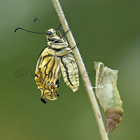 machaon007b2