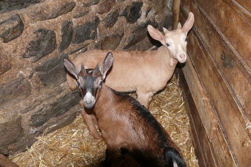 2009 03 03 Deux chevreaux