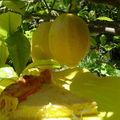 Tarte ricotta-citron sur un air de fiadone et bonne fête à toutes les mamans