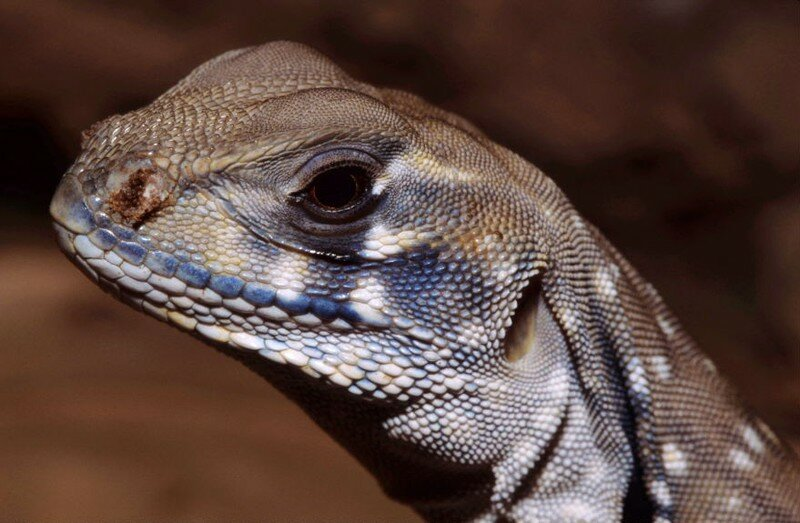 Leiolepis belliana tête