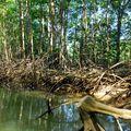 Mangrove, Quépos