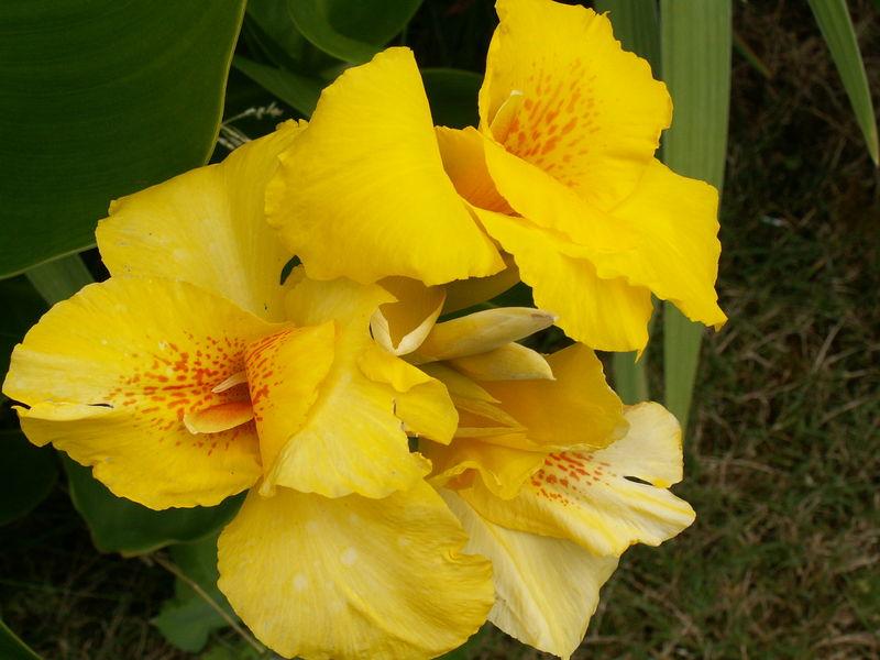Fleur de cana