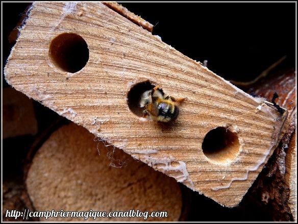abeille rousse qui se fait son nid