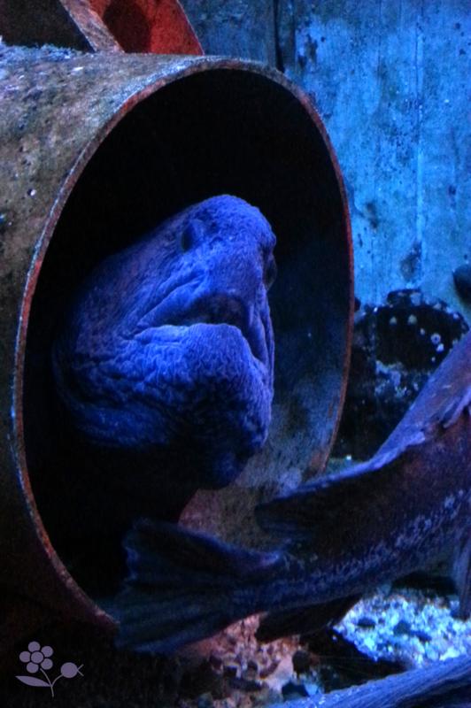 Saint Malo, Grand aquarium, murène