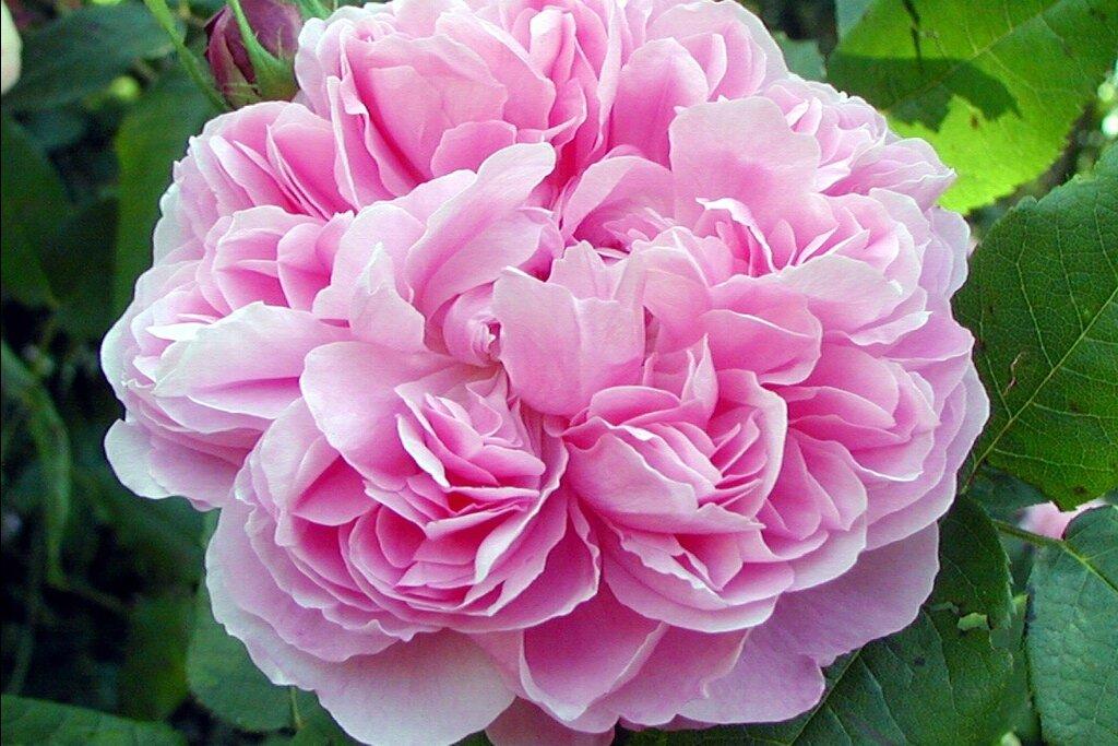 La rose de Portland
