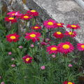 2009 06 04 Mes fleurs de Pyrèthre de Robinson en fleurs