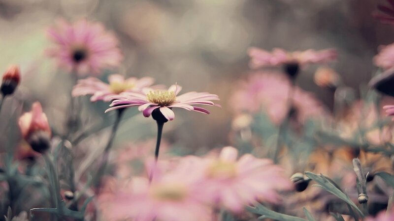 flowers-daisy-vintage-spring-beautiful-nature-plant-photo-hd-wallpaper