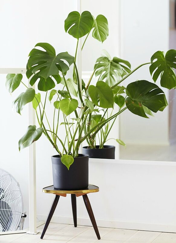 entretien-plantes-vertes-interieur-decoration-monstera-FrenchyFancy-6