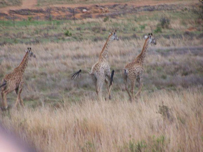 Girafes ( au galop donc photo floue)