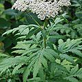 Tanacetum macrophyllum