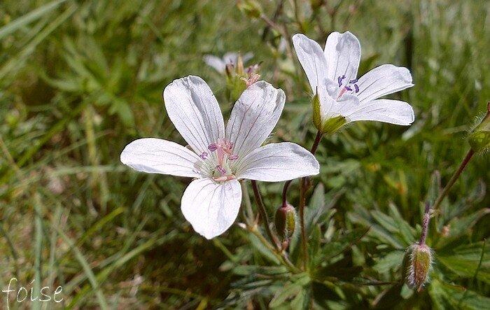 Fleurs blanches en cymes corymbiformes