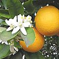 Oranger amer ou bigaradier