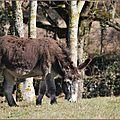 Ane(Equus Asinus)