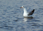 mouette_t_te_grise__10_