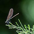 Calptéryx vierge - Calopteryx virgo