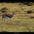 Gazelle de Thomson 4
