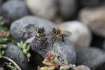 abeille_cadavre02