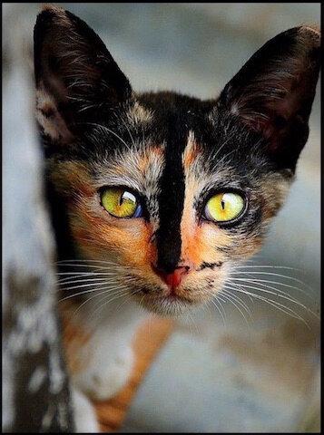 chat multicolore