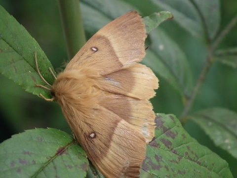 Lasiocampa quercus (Linnaeus, 1758) (Bombyx du chêne, Bombyx du