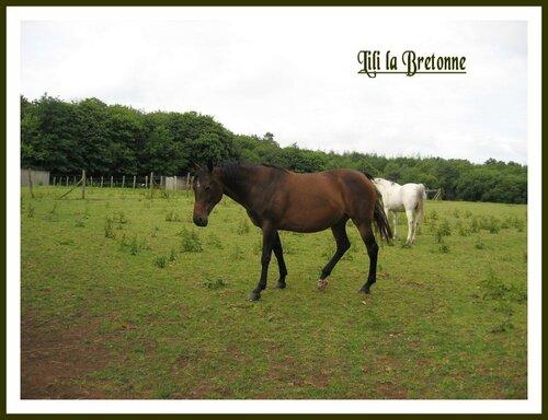 chevaux à Moréac 068_redimensionner