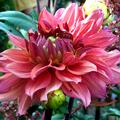 Dahlia Rose
