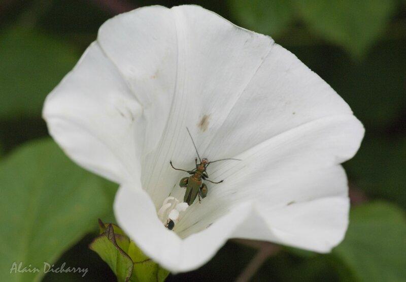 4 Oedémère noble (Oedemera nobilis) sur fleur de liseron