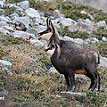 Chamois : chèvre et cabri