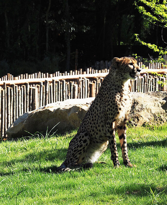 zoo-beauval-animaux-leopard-25