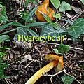 Hygrocybe sp