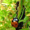 la coccinelle, la fourmi et les pucerons