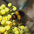 Le bourdon des prés (bombus pratorum)
