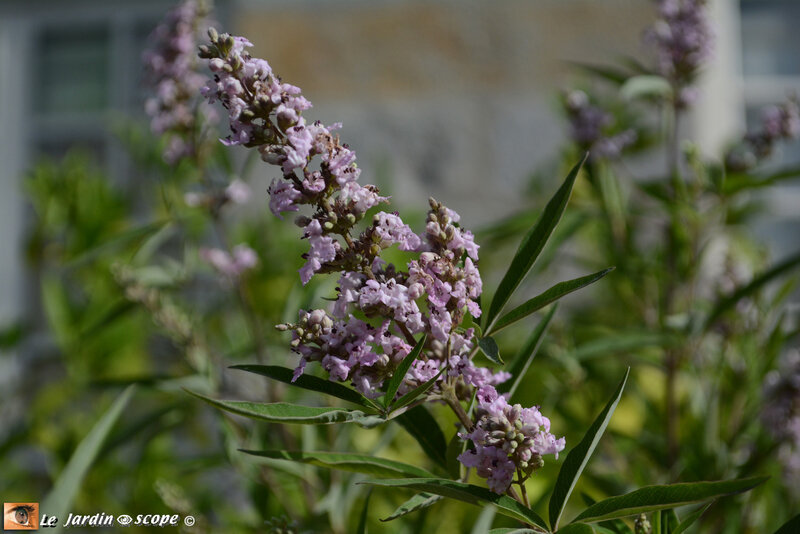 PAT_1945--Vitex-Pink-Pinnacle