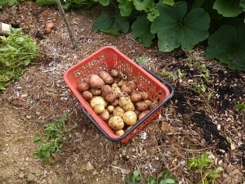 13-pommes de terre (12)