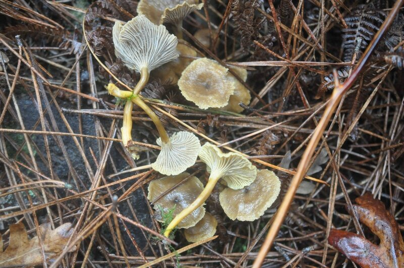 Craterellus tubaeformis (2)