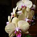 L'orchidée de tom...