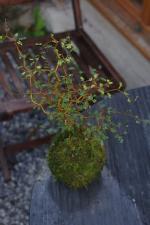 Sophora Microphilla