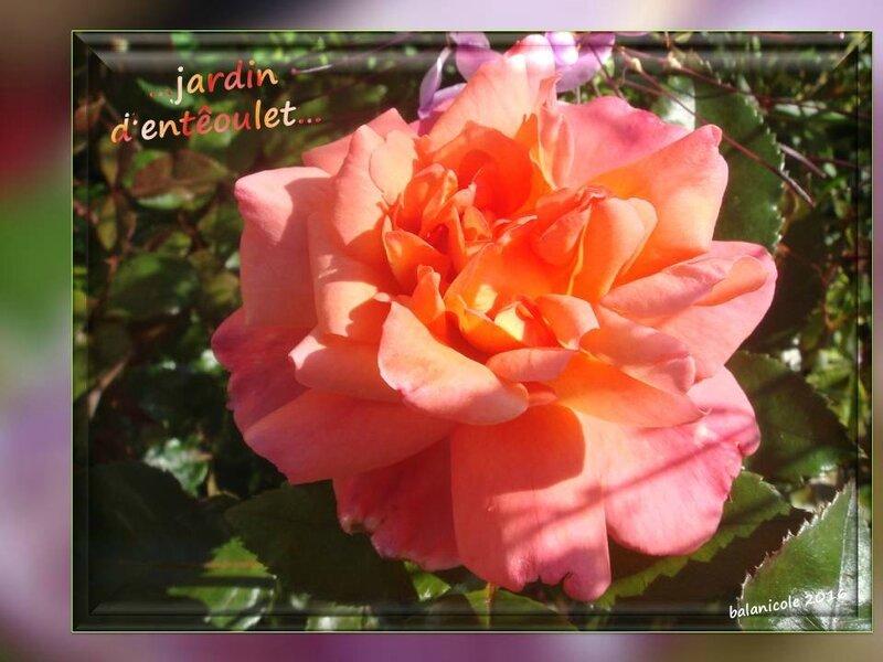 balanicole_2016_11_les nouveaux rosiers de balanicole_e comme jardin d'entêoulet_11