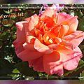2016.11.06 les nouveaux rosiers de balanicole