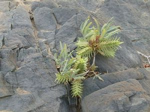 Piste sud Ugab plante sp