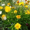 Coreopsis Early Sunrise parmi lin bleu et blanc