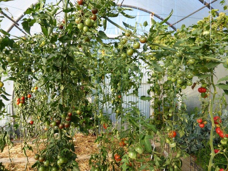 16-tomate serre