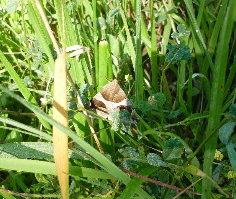 La Passagère (Dysgonia algira)