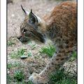 Lynx d'Europe (Lynx lynx lynx)