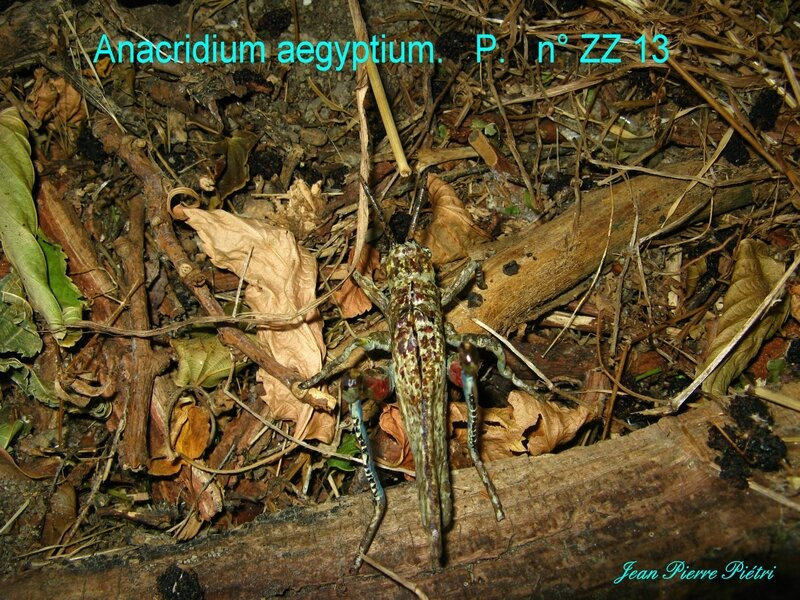 Anacridium aegyptium n° ZZ 13