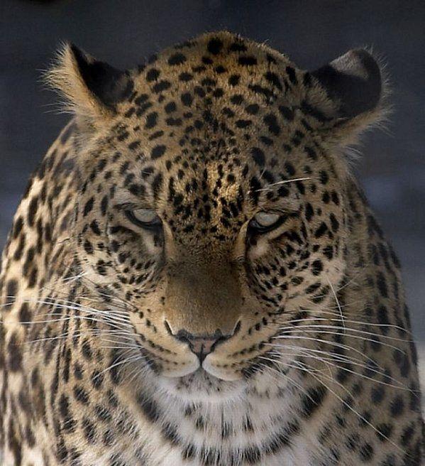 Leopard du Congo