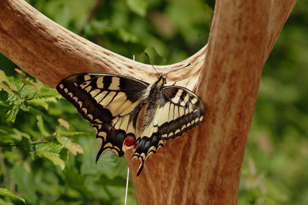 Grand_porte_queue_Machaon_sur_mue